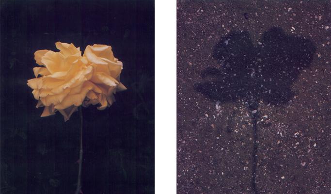 1996_rosaombra